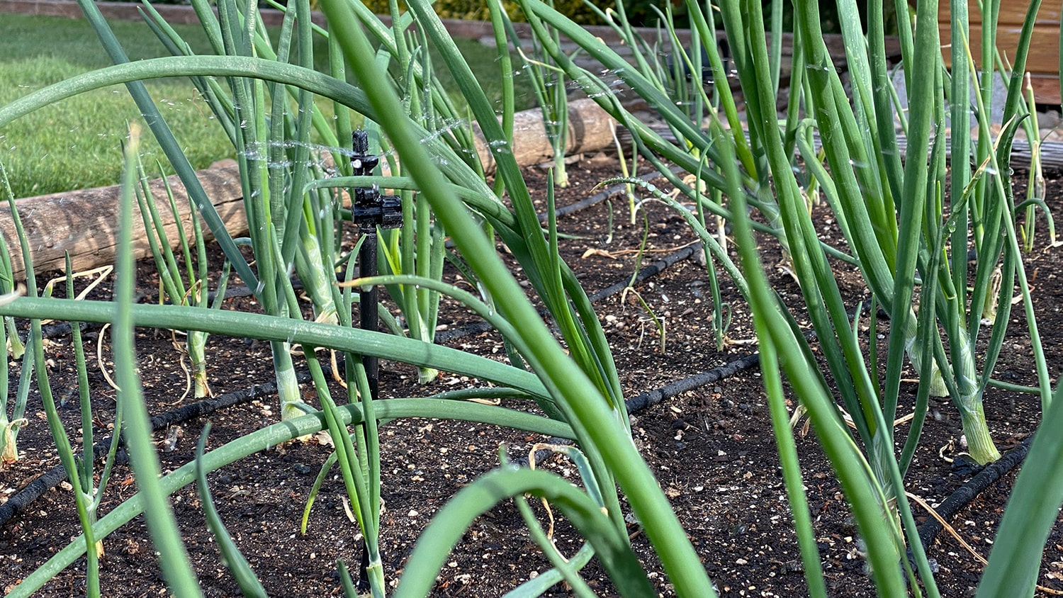 Keeping Plants Healthy in the Heat Blog - Growing Onions