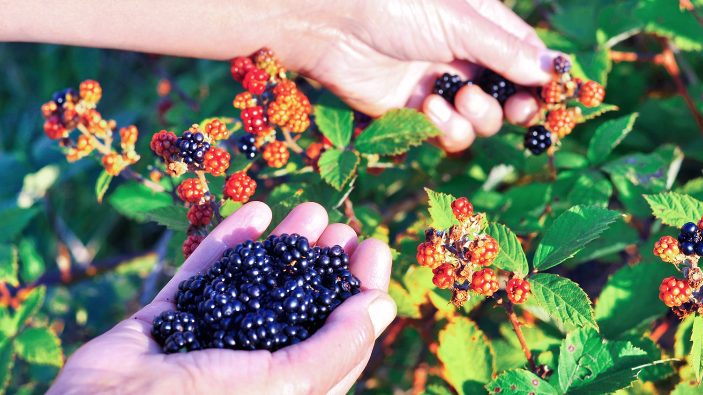 picking sun-warmed blackberries