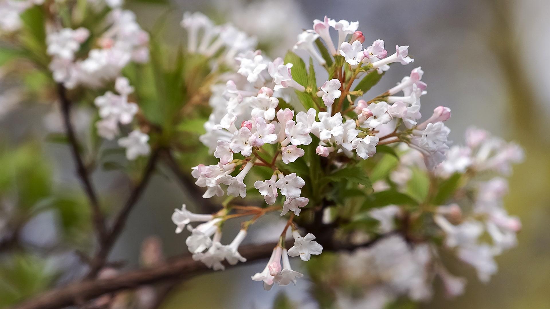 The Scent of Spring - Blog - Viburnum Bodnantense