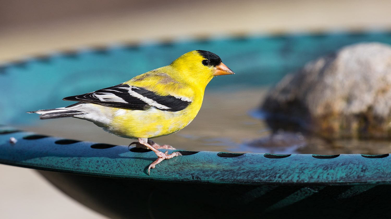 goldfinch at birdbath - Birdscaping Your Garden Blog