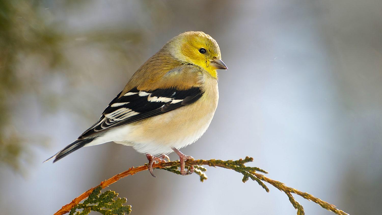 December Garden Tips Gold Finch