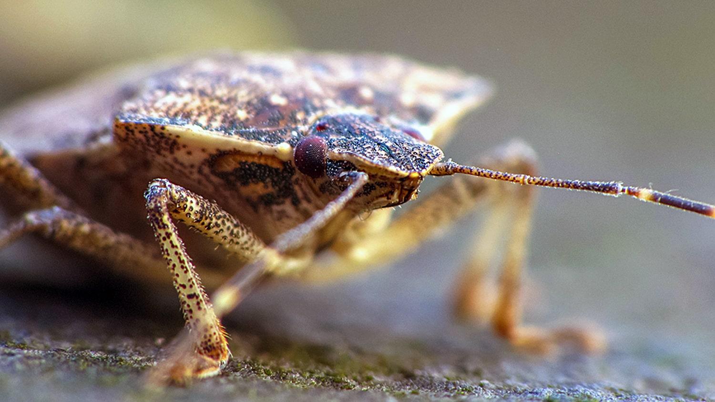 Pest Blog Stink Bugs