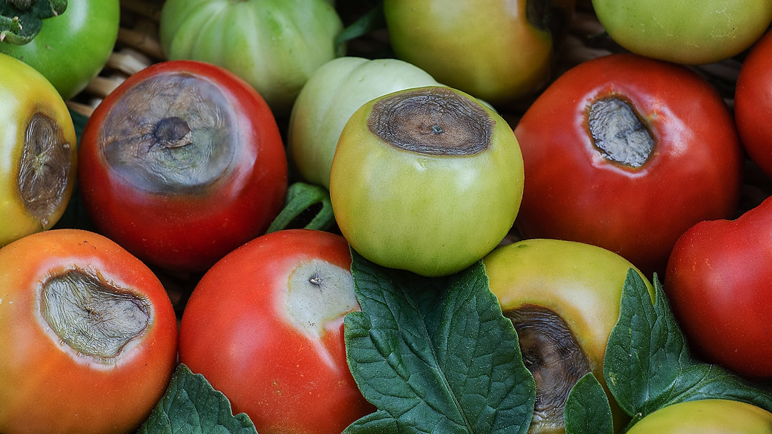 Solving Blossom End Rot on Tomatoes Blog