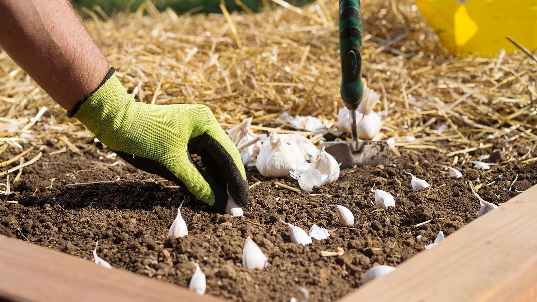 planting garlic in raised bed - Planting Garlic Blog