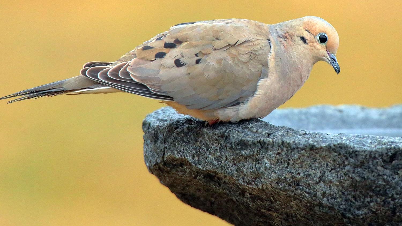 Mourning Dove - Birdscaping Your Garden Blog