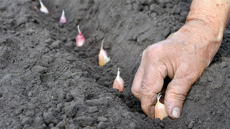 Planting Garlic in soil - Planting Garlic Blog