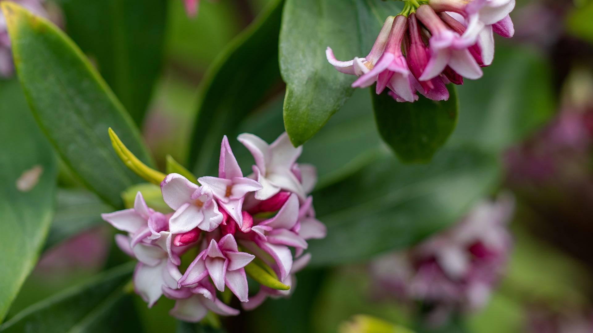 The Scent of Spring - Blog - Daphne Odora (winter Daphne)