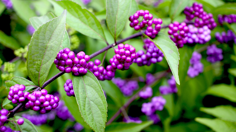Callicarpa Beauty Berry - Birdscaping Your Garden Blog