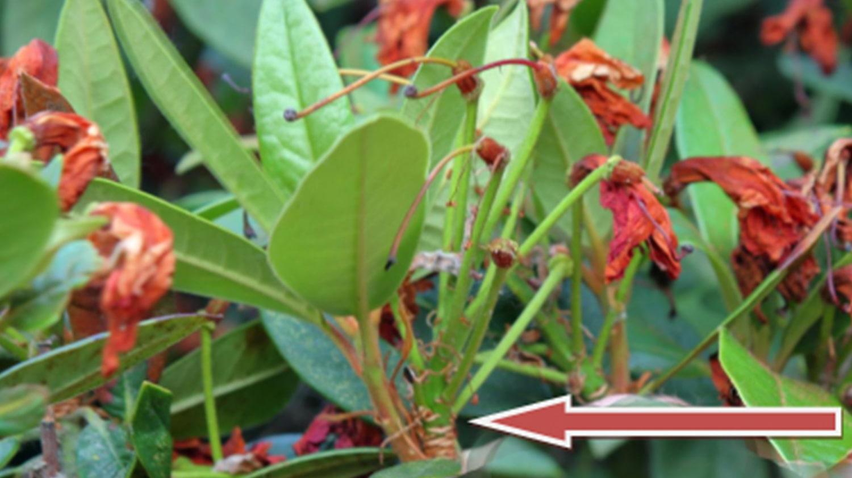 cut here rhododendron azalea - Rich Baer - Grateful Deadheading Blog Darcy