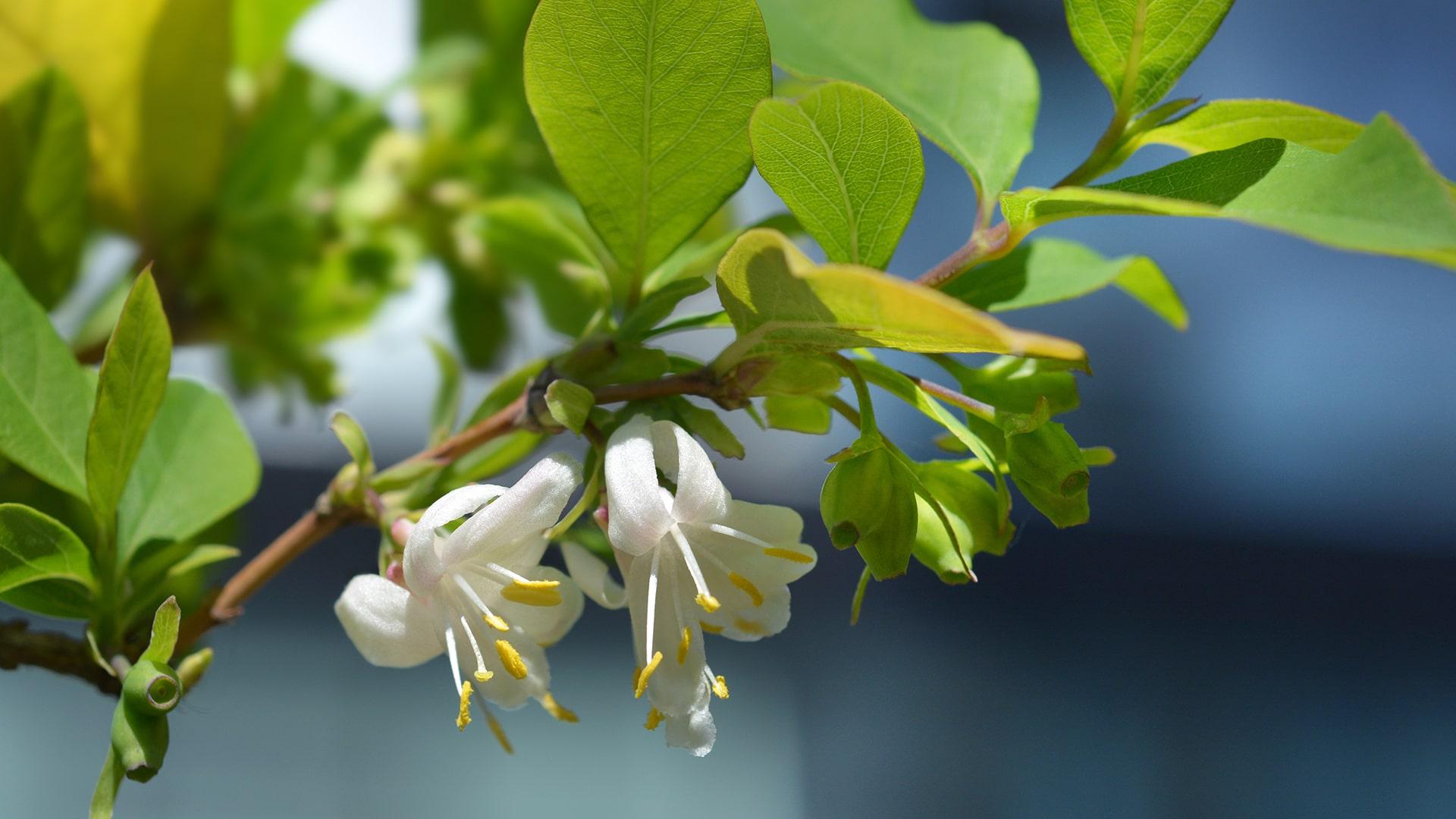 The Scent of Spring - Blog - Winter Honeysuckle
