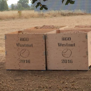 "bins of harvested hazelnuts that say ""HGO Westnut"""