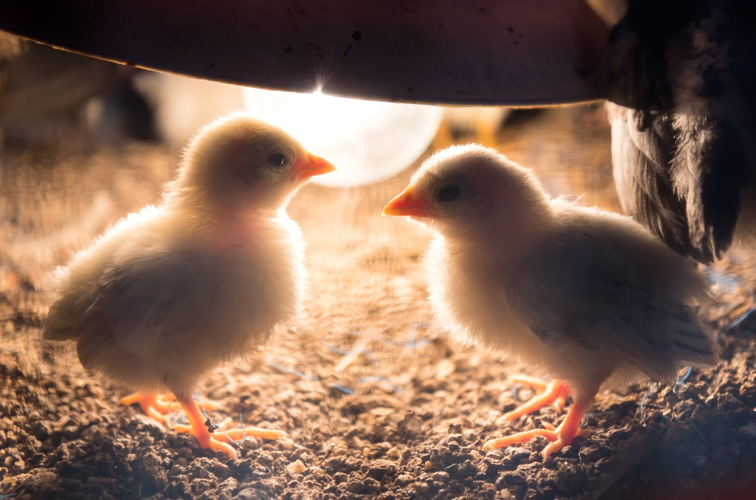 Baby Chick Care Blog
