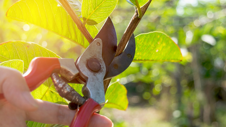 Basics of Pruning Roses