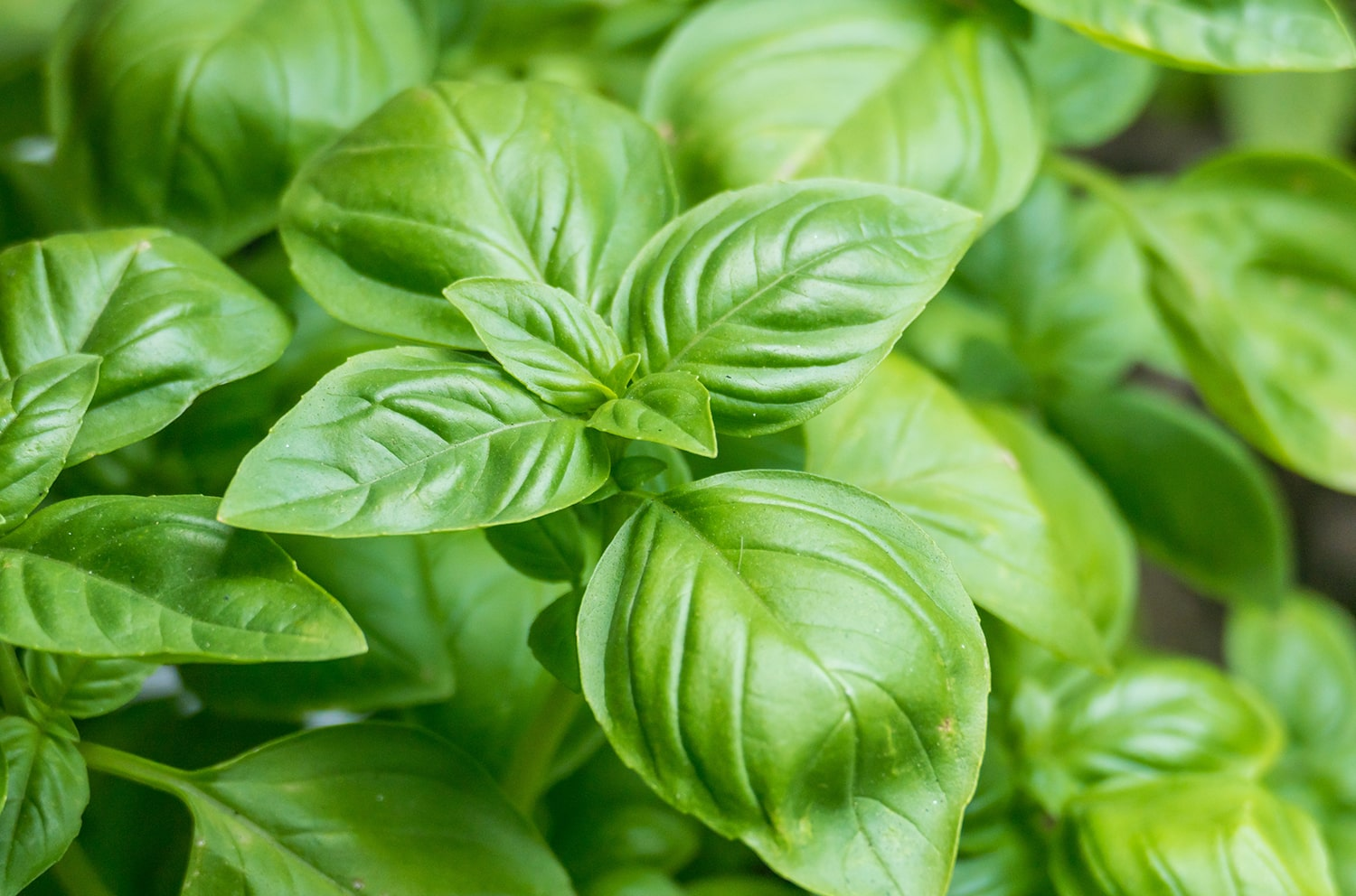 Mint Family Herbs Blog Basil