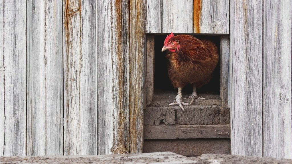 Chicken-peeping-out-from-the-coop-Rural-poultry-farm.-Agriculture-and-agribusiness