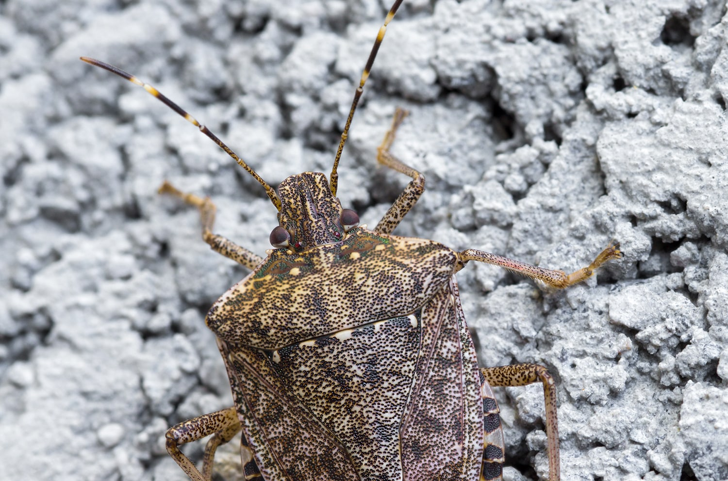 Fall Invaders Blog - Stink Bug