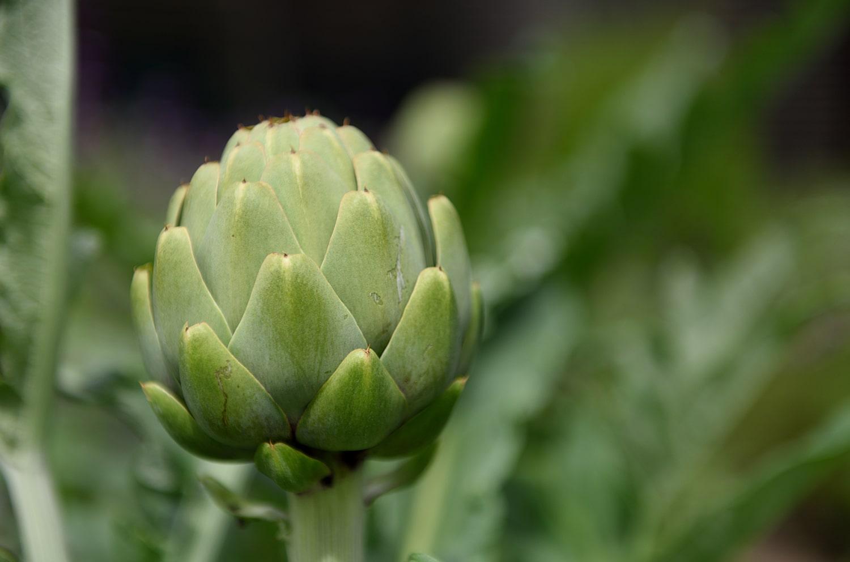 Growing Artichokes Blog