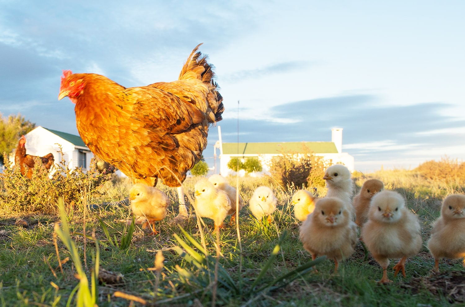 How to Introduce New Chickens to Your Flock