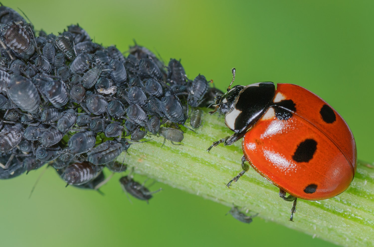 Lady Bug Eating Pests