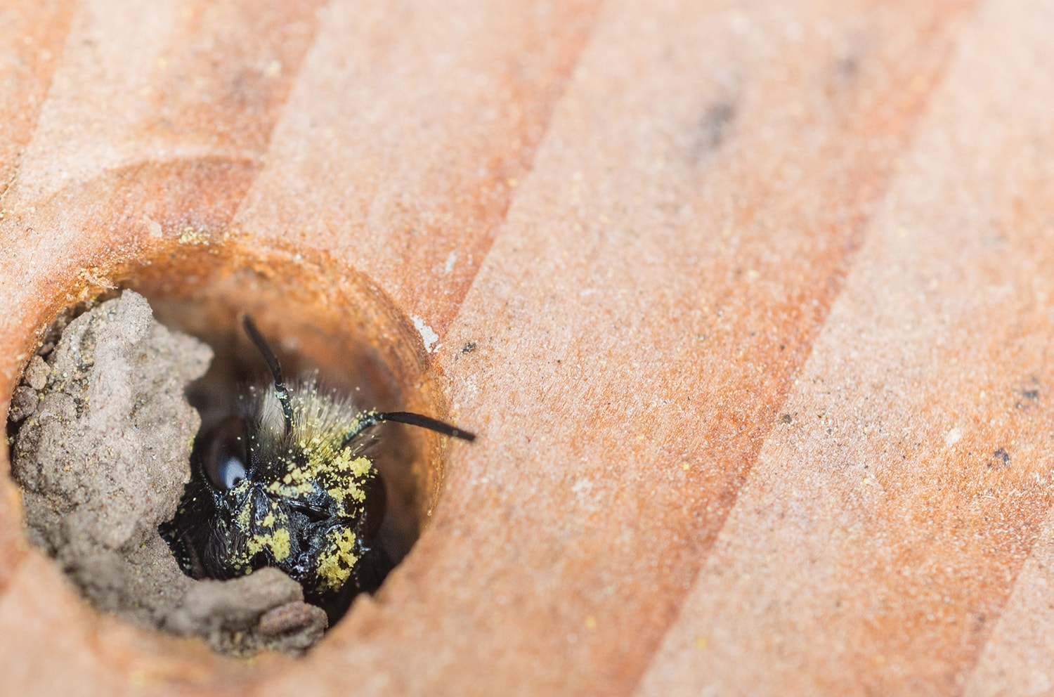 Mason Bee in Nest
