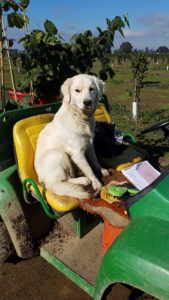Molly, labrador dog, on a tractor
