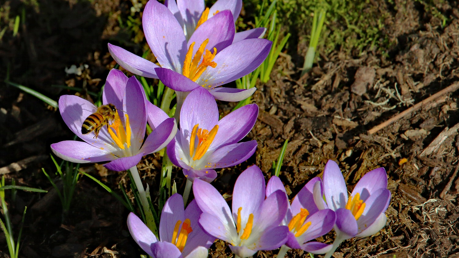 Planting Fall Bulbs-crocus