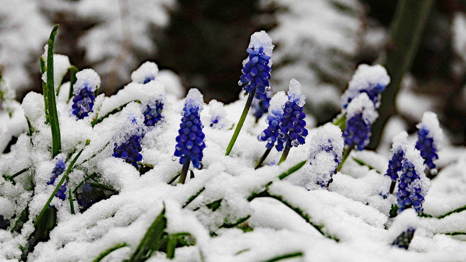 Planting Fall Bulbs-grape hyacinth