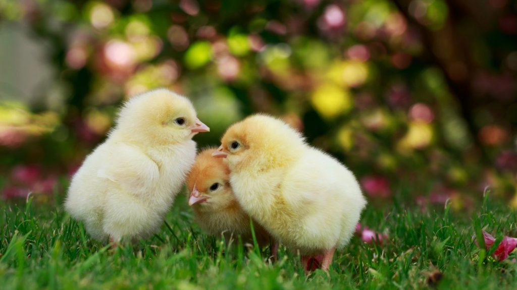 The-little-chicken-Rural-poultry-farm-Agriculture-and-agribusiness