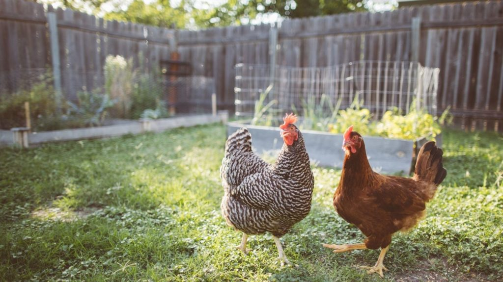 Two-Chickens-in-a-Backyard-Rural-poultry-farm.-Agriculture-and-agribusiness