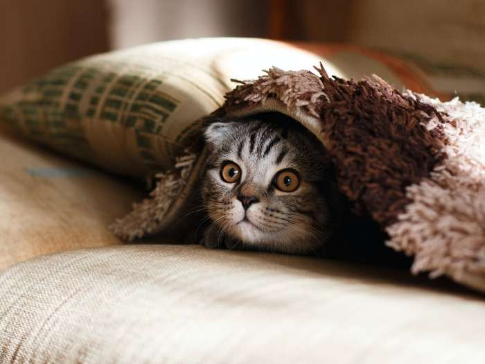 scared kitten under blankets
