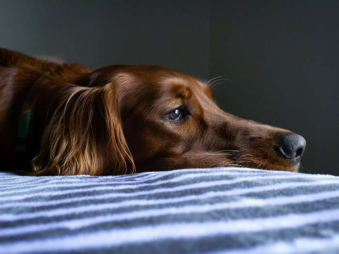 worried dog on bed