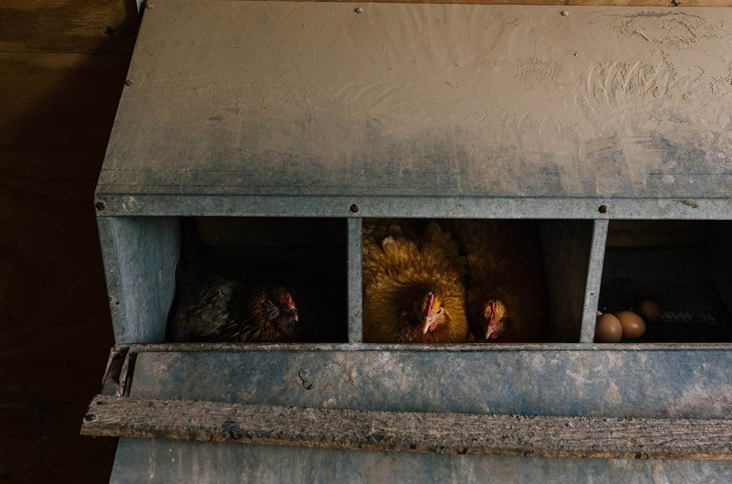 When Do Chickens Lay Eggs Blog