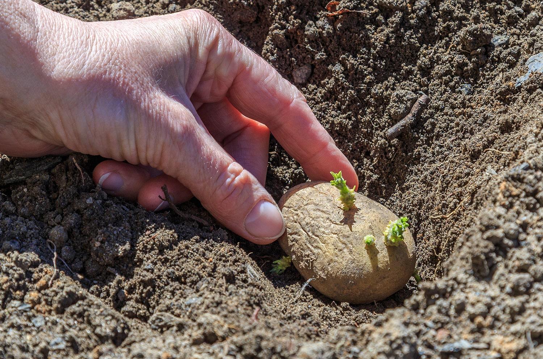Why Everyone Should Plant Potatoes Blog