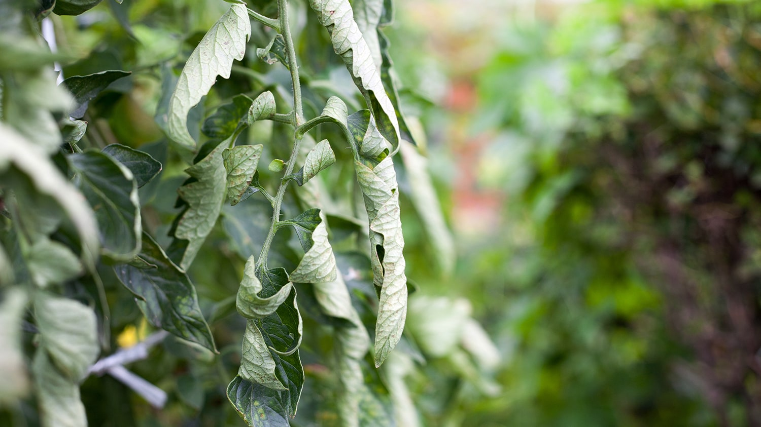 Wilted Plant - Keeping Plants Healthy in the Heat Blog