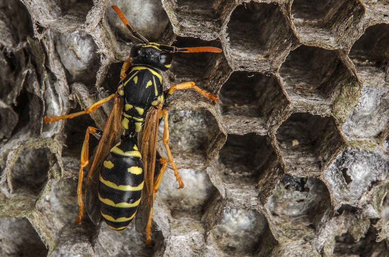 Yellow Jacket & Wasp Control