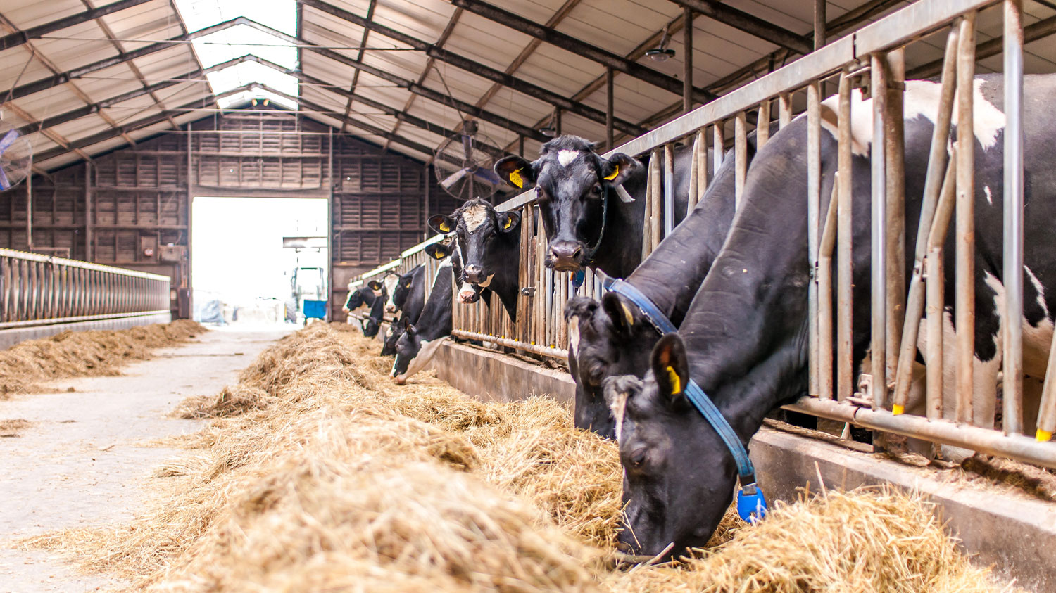 Cattle in barn eating hay