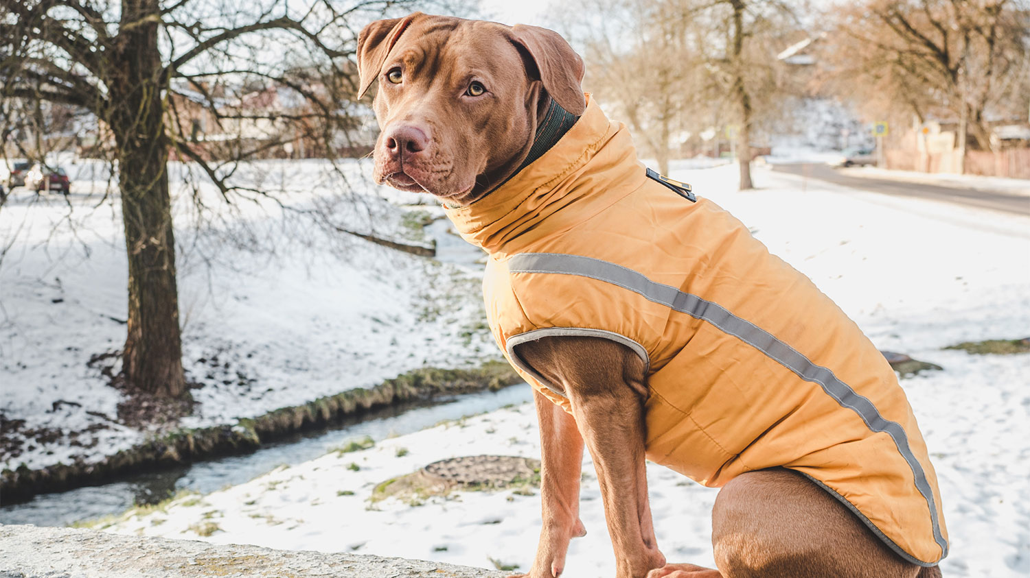 Chocolate lab in jacket