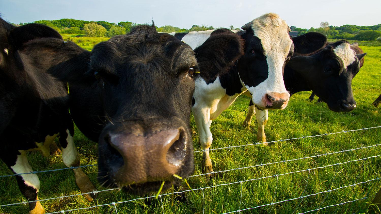 Close shot of cows