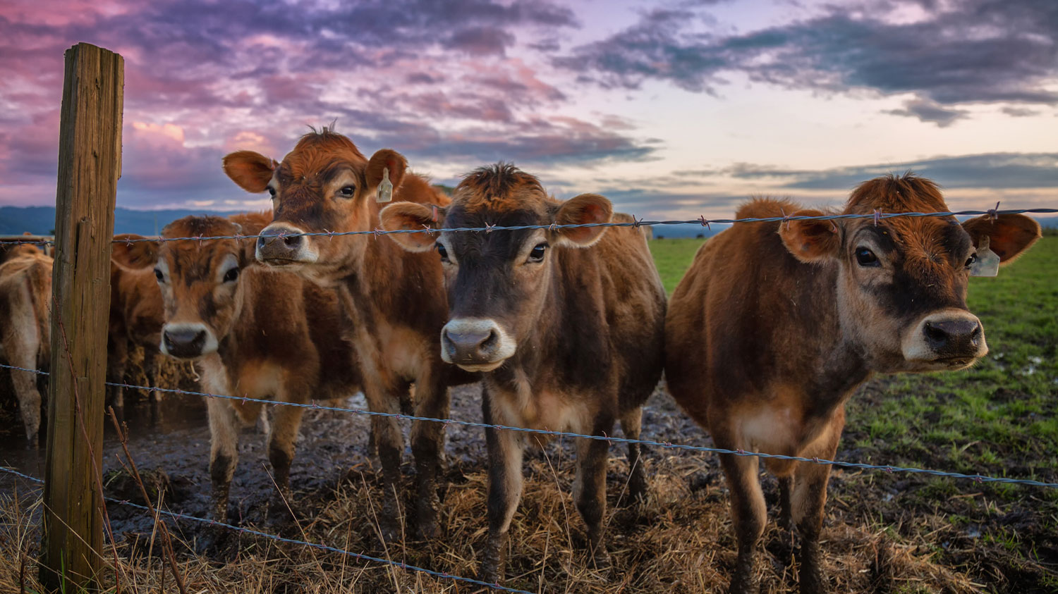 Cows behind a cattle fence