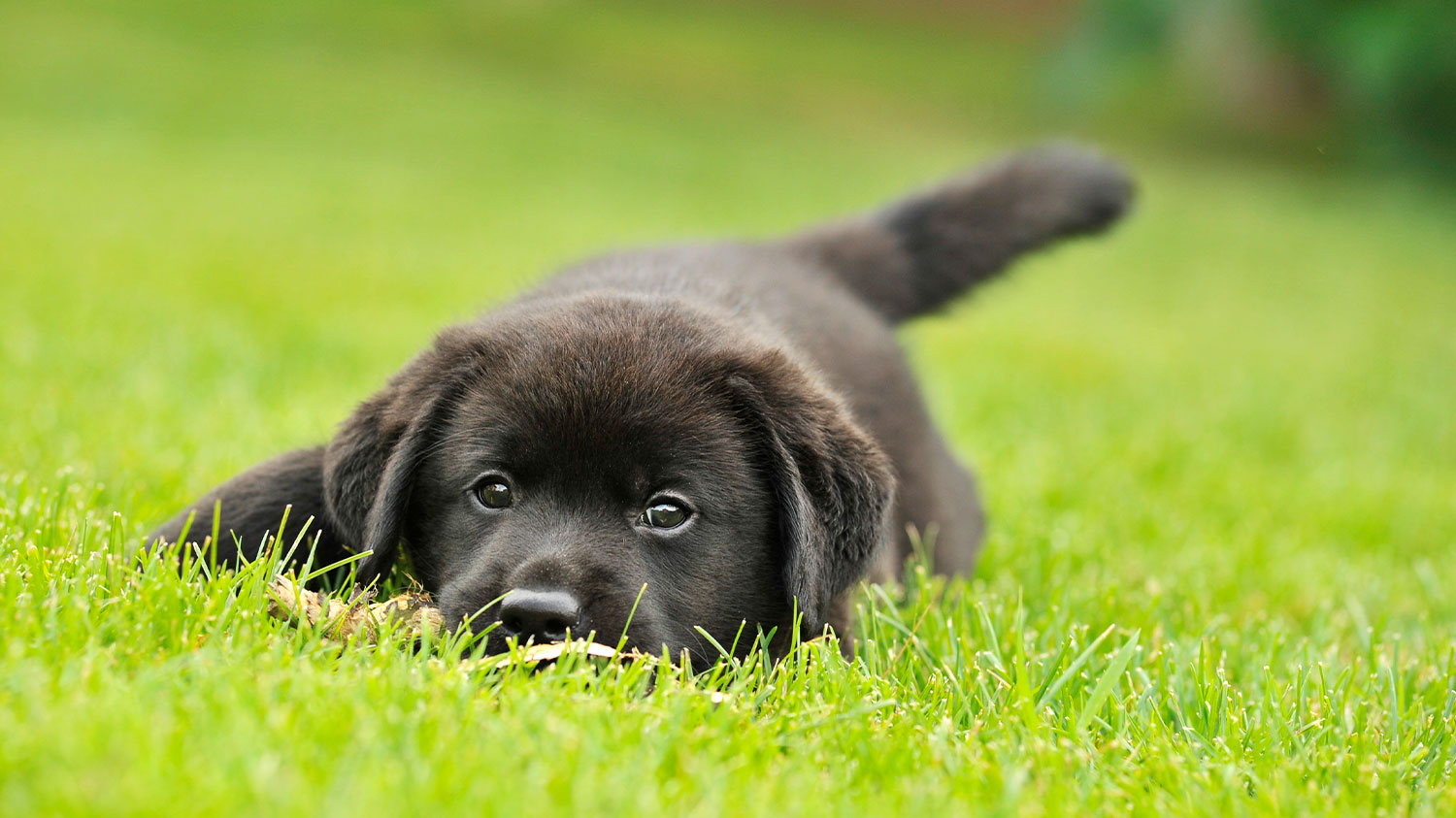 Dog laying in grass