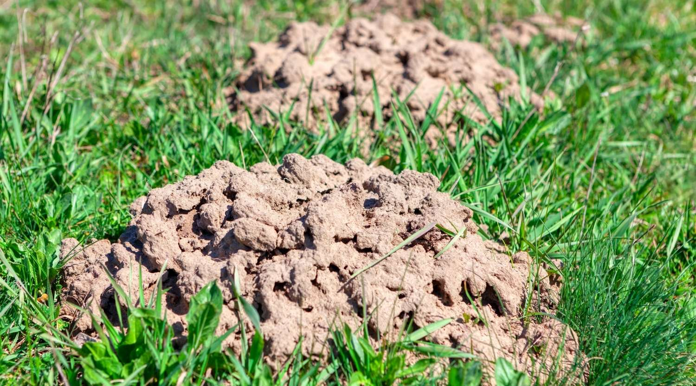 dried-mole-hills-mole-hills-in-grass