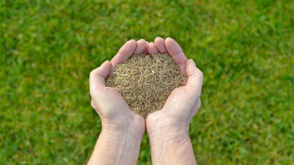 Hands Full of Grass Seeds