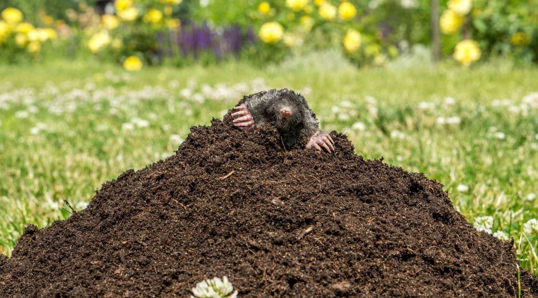 happy-mole-on-a-hill
