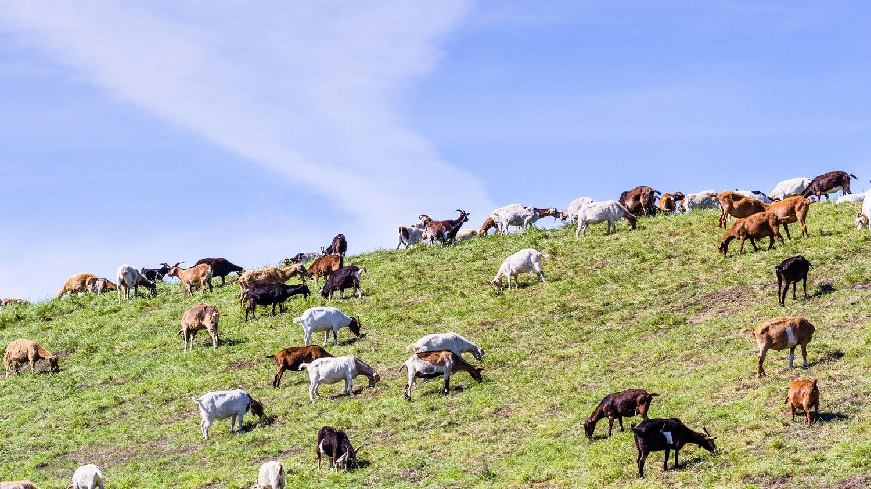Herd of goats grazing on hillside