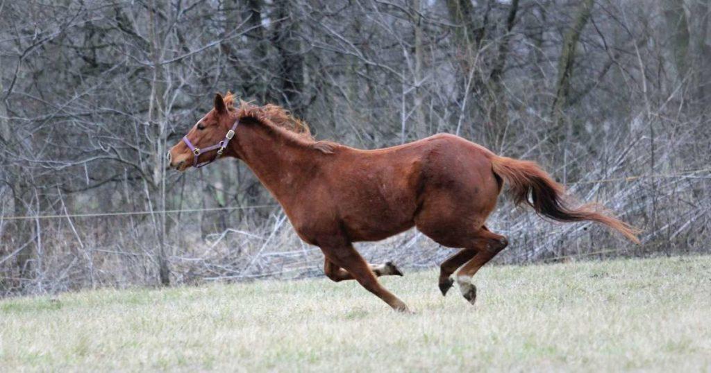 senior-horse-full-gallop