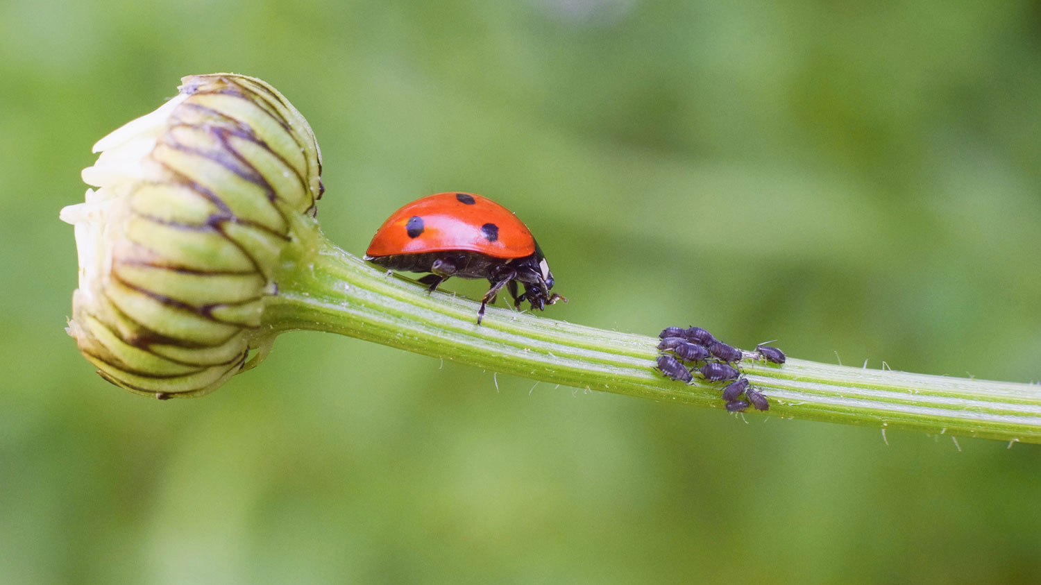 Lady Bugs and Aphids on Plant