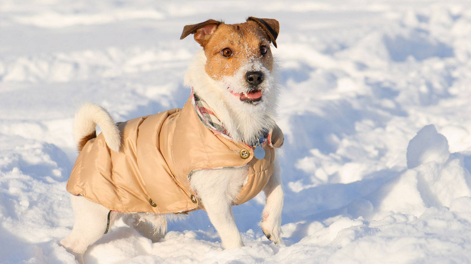Little dog in snow with jacket