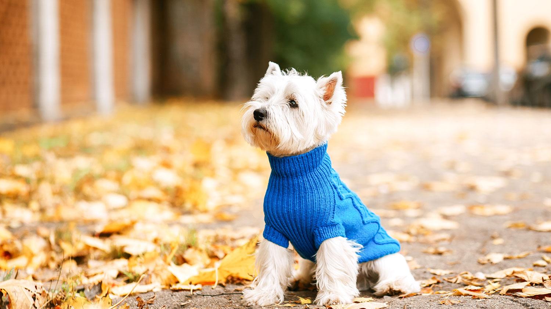 Little puppy in blue sweater
