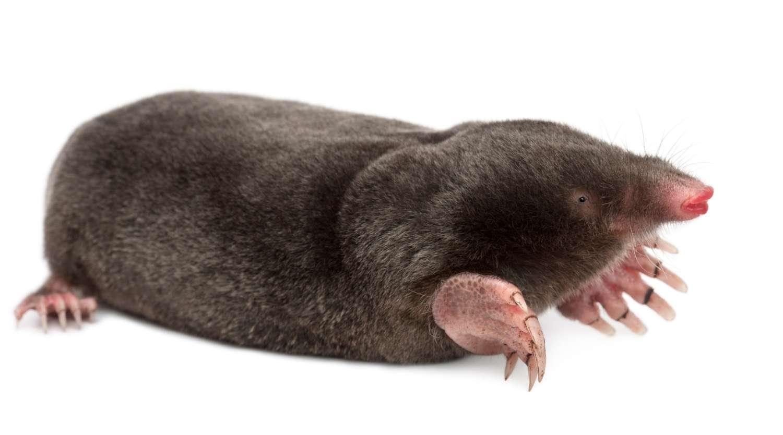 mole-laid-on-ground