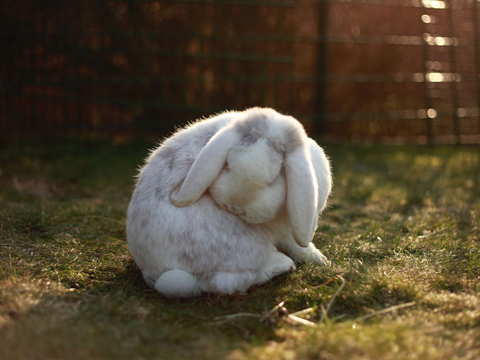 White Rabbit Cleaning Itself